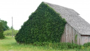 Barn with Ivy